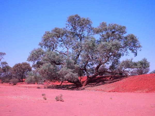 Types of Eucalyptus - Eucalyptus coolabah