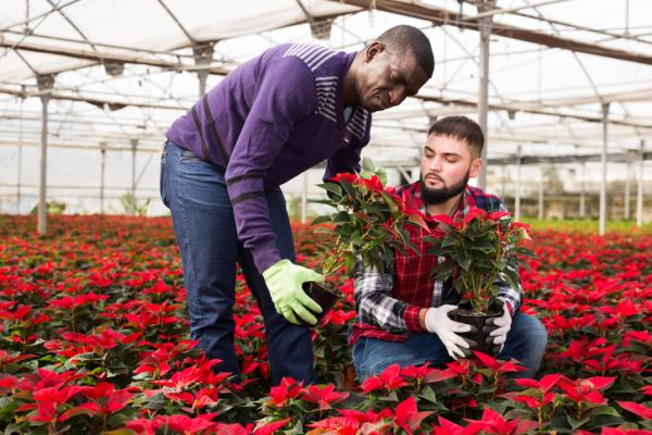 How to transplant the poinsettia - When to transplant the poinsettia