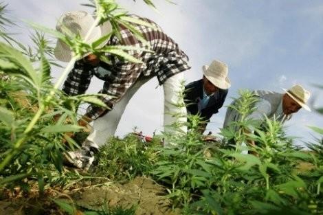 الإندبنت: صناعة القنب الهندي..طريق المغرب نحو الخلاص الاقتصادي