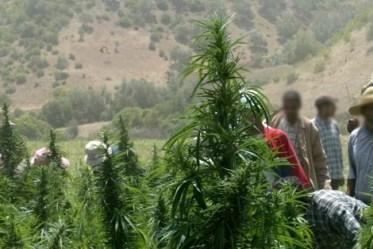 "Cannabismorocco_194171339 تقرير دولي: ""الحشيش"" يسد رمق مليون مغربي ويجتاح بلدان أوروبا Actualités"