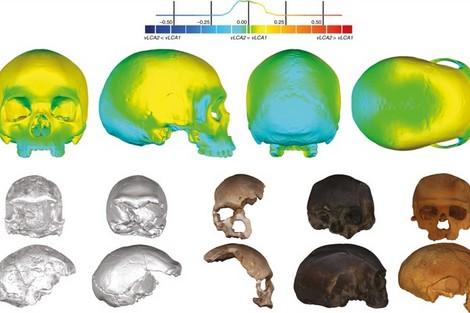 dc_3_178325138 حفريات مغربية تُساهم في افتراض جمجمة الجد المشترك للإنسان المزيد