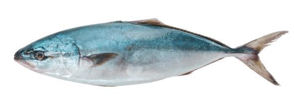الأطعمة المحرمة في الحمل ولماذا - السمكة الزرقاء الكبيرة