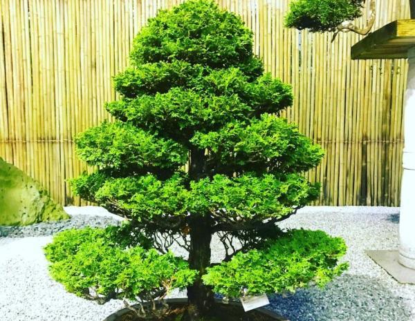 19 types of bonsai - Chumono Bonsai
