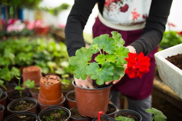 How To Plant Geraniums - When To Plant Geraniums