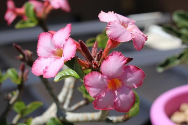 Succulent Plant Types - Desert Rose