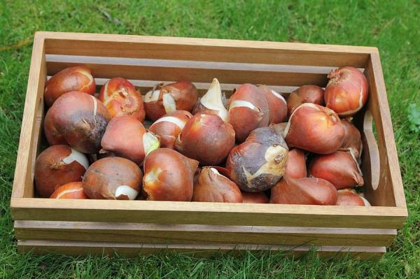 How to Preserve Tulip Bulbs - How to Preserve Tulip Bulbs Step by Step