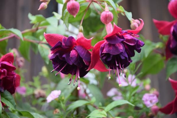 Fuchsia plant care - Reproduction of the fuchsia plant, fuchsias or queen's earrings