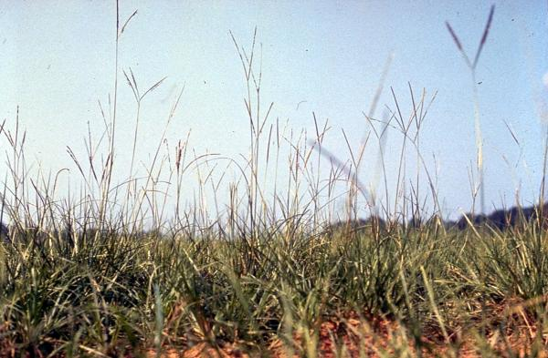8 types of grass - Paspalum notatum