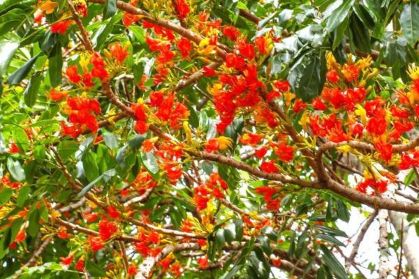 9 orange flowers - Australian Chestnut