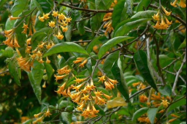 9 orange flowers - Orange Jasmine