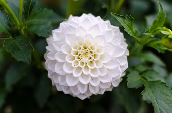 +15 autumn plants for the garden - Chrysanthemums