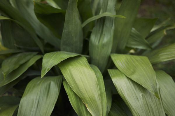 Outdoor plants resistant to cold and heat - Aspidistra or Aspidistra elatior