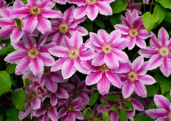 Cold and heat resistant outdoor plants - Clematis or Clematis spp.
