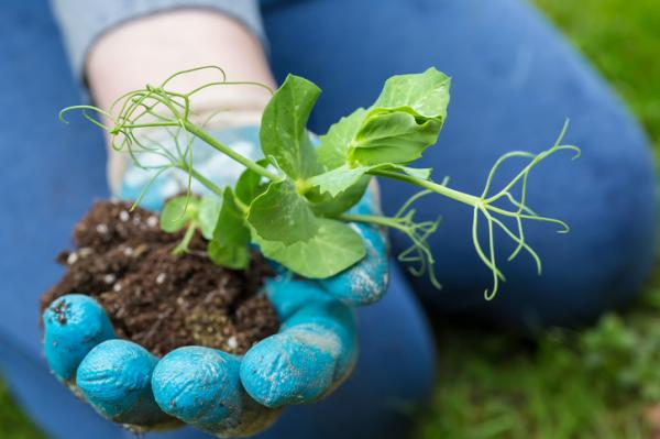 How To Plant Peas - How To Plant Peas In Soil