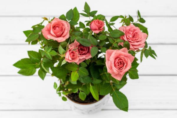 How to care for a rose bush in a pot - Pot for a rose bush in a pot