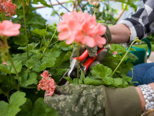 Pruning Geraniums: How And When To Do It - How To Prune Geraniums Step By Step