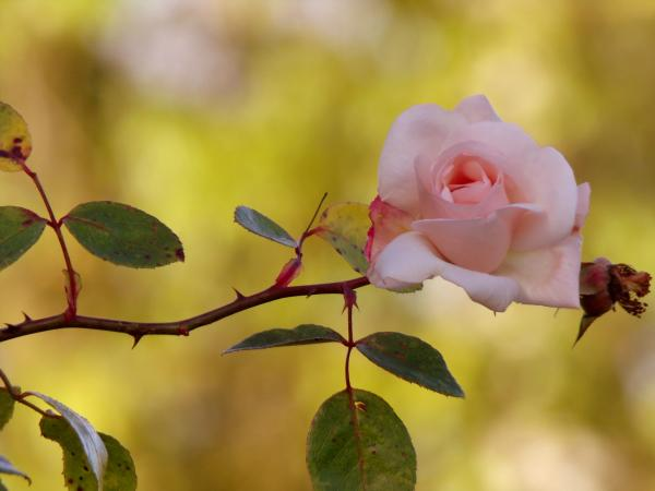 Plants with thorns - Rose bush