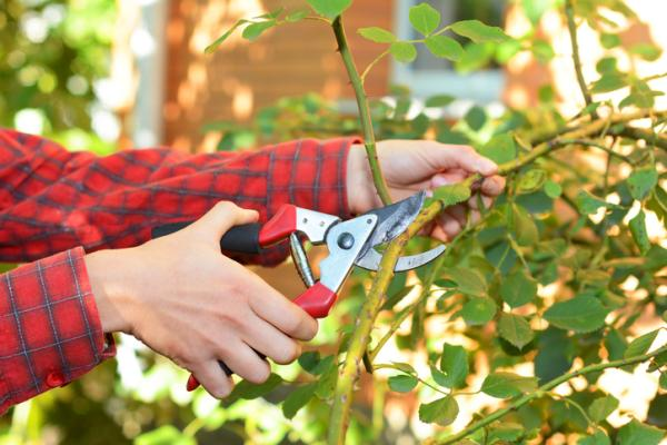 How to prune rose bushes - When to prune rose bushes - the best time