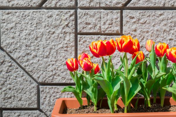 How to care for potted tulips - How to care for potted tulips - practical guide