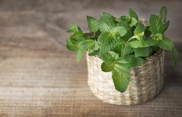 Moisture Absorbing Plants - Mint