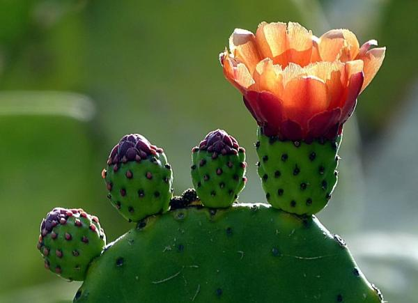 Succulents with flowers: names, characteristics and photos - Nopal (Opuntia)