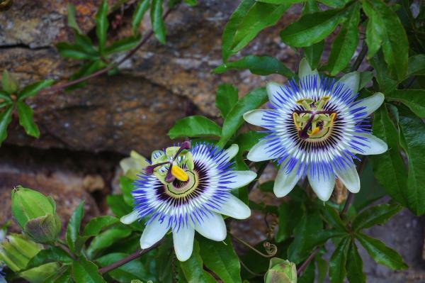 Names of flowering climbing plants - Pasionaria