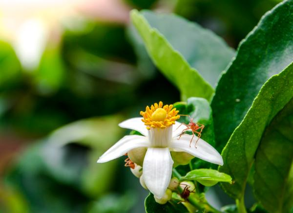 Why Lemon Blossoms Fall - Reasons Lemon Blossoms Fall