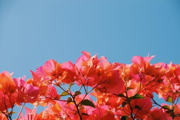 How to Prune a Potted Bougainvillea - Location, Light and Temperature for a Potted Bougainvillea