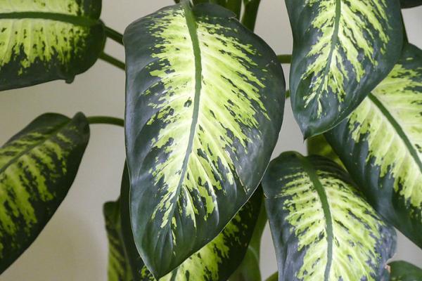 Dieffenbachia plant: care - Is the dieffenbachia plant poisonous?