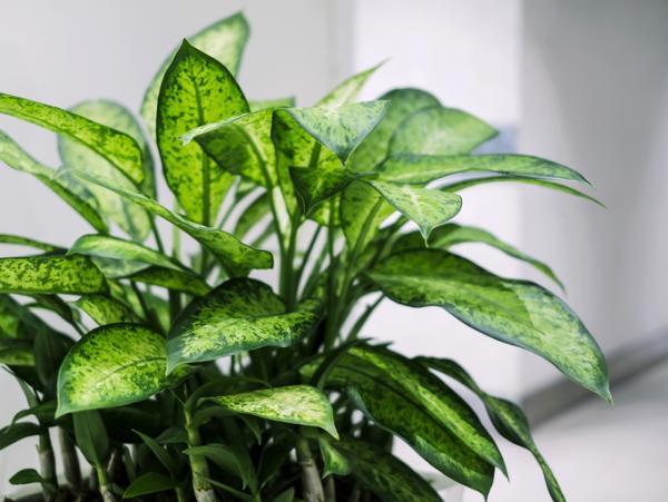 Dieffenbachia plant: care - What is the dieffenbachia plant: characteristics
