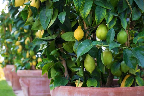 Potted Fruit Trees: How To Grow Them - What Are The Best Potted Fruit Trees