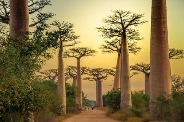 Baobabs: what are they and characteristics - Characteristics of baobabs