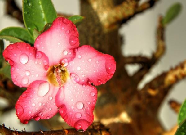 Desert rose: care - Watering the desert rose