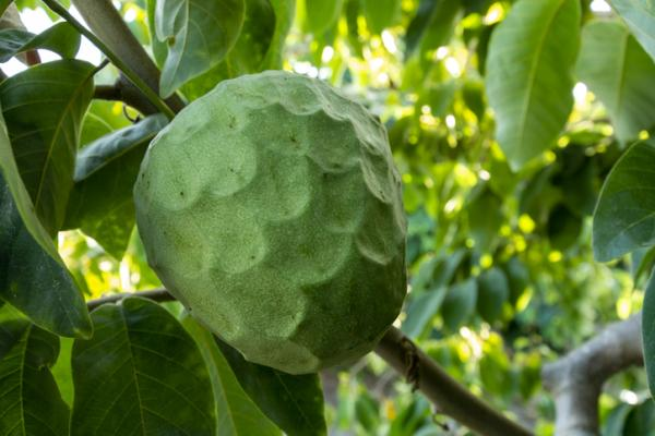 Planting custard apple: when and how to do it - Cherimoya care: a basic guide