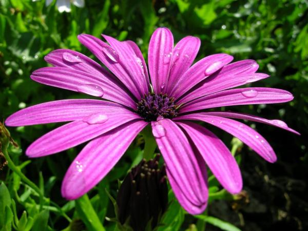 10 purple flowers - Dimorfoteca