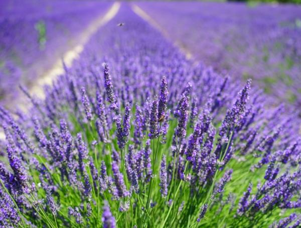 10 purple flowers - Lavender