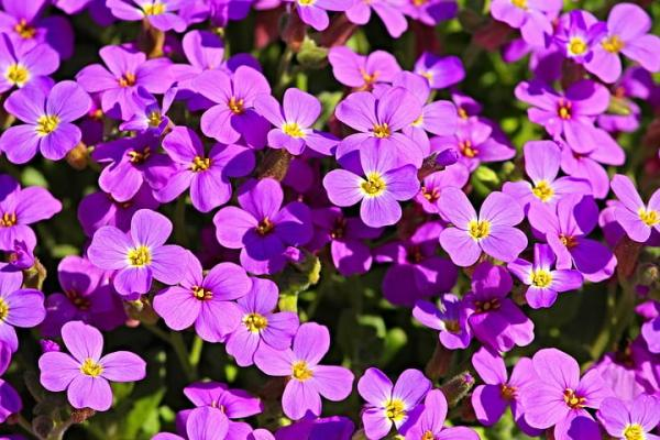 10 purple flowers - forget-me-not
