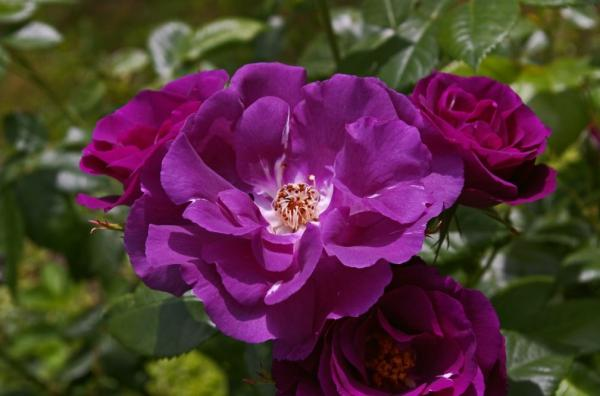 10 purple flowers - Rosa, one of the most exotic purple flowers