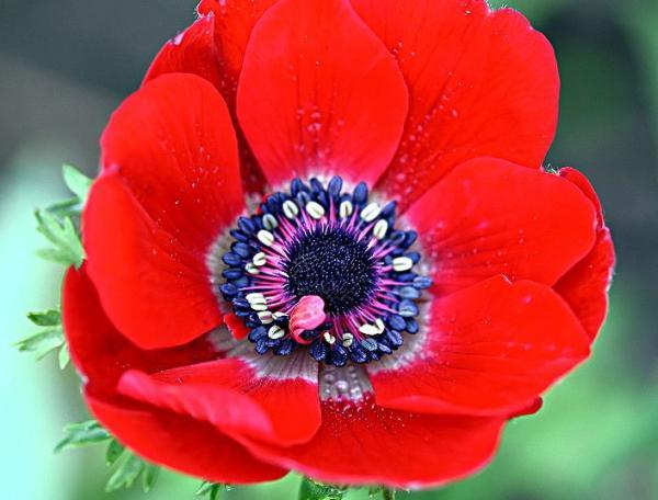 Coronary Anemone Care - Characteristics of Coronary Anemone