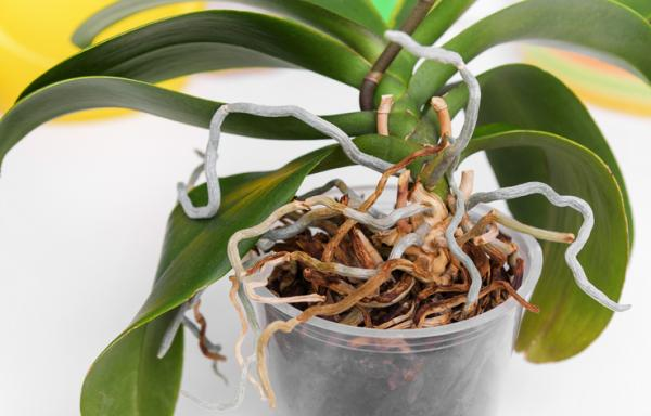 How to water an orchid - When to water orchids