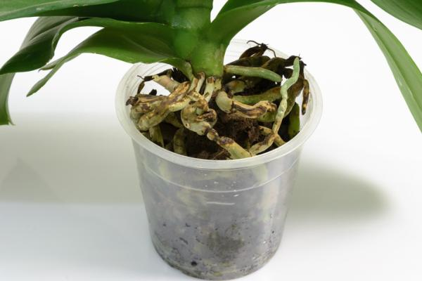 Transplanting an orchid: how and when to do it - When to transplant an orchid