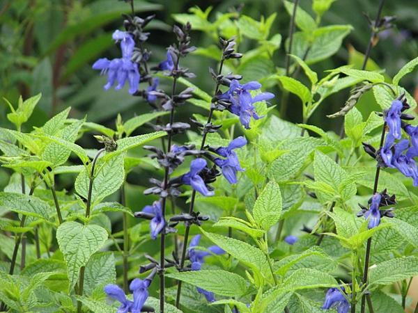Types of salvias - Salvia guaranitica