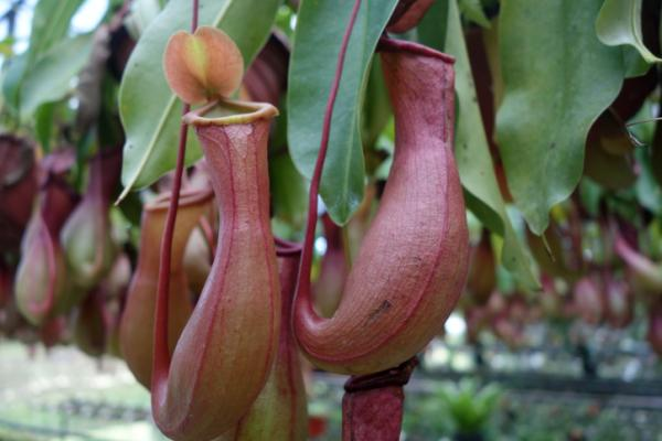 How Carnivorous Plants Feed: Summary - How Carnivorous Plants Digest