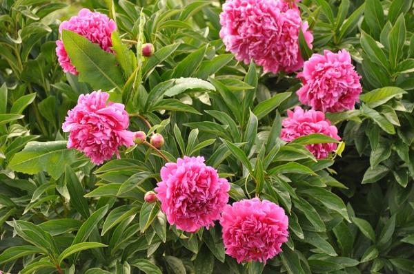 Peonies: how to care for them and their meaning - How to sow and plant peonies