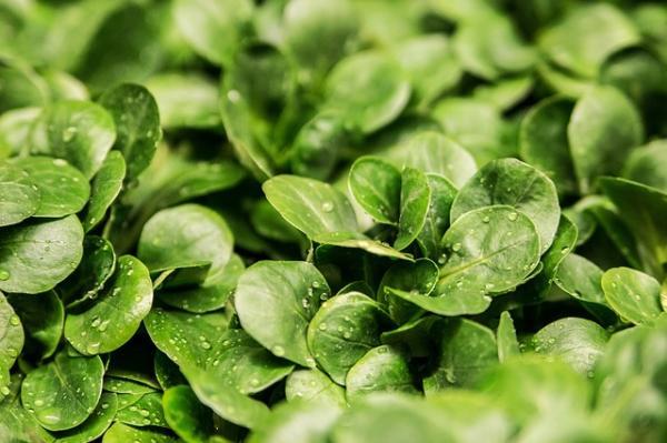 14 types of lettuce - Canonigo