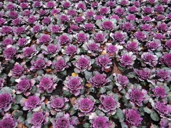 10 cold and shade resistant outdoor plants - Ornamental cabbage