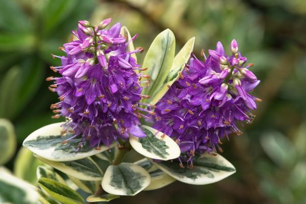 10 cold and shade resistant outdoor plants - Hebe or veronica