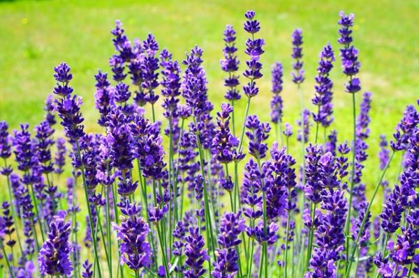 10 cold and shade resistant outdoor plants - Lavender