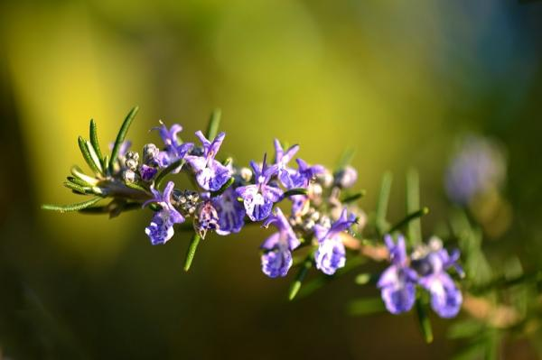 How to care for a potted rosemary plant - Caring for potted rosemary: light, temperature and humidity