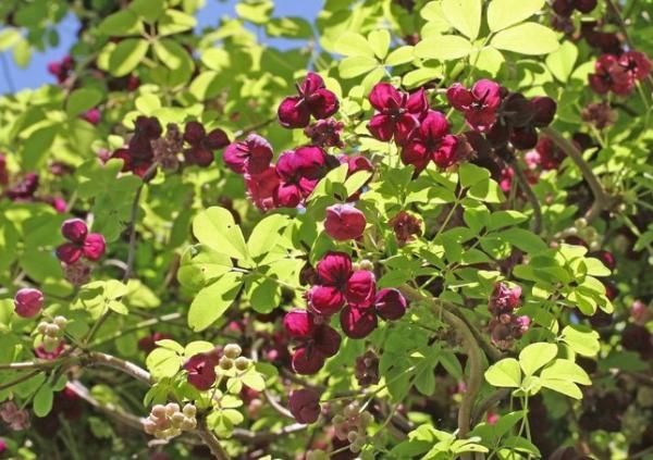 24 climbing plants - Akebia quinata